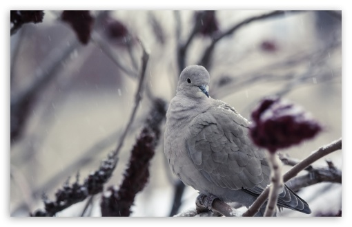 Collared Dove HD wallpaper for Wide 16:10 5:3 Widescreen WHXGA WQXGA WUXGA WXGA WGA ; HD 16:9 High Definition WQHD QWXGA 1080p 900p 720p QHD nHD ; UHD 16:9 WQHD QWXGA 1080p 900p 720p QHD nHD ; Standard 4:3 5:4 3:2 Fullscreen UXGA XGA SVGA QSXGA SXGA DVGA HVGA HQVGA devices ( Apple PowerBook G4 iPhone 4 3G 3GS iPod Touch ) ; Tablet 1:1 ; iPad 1/2/Mini ; Mobile 4:3 5:3 3:2 16:9 5:4 - UXGA XGA SVGA WGA DVGA HVGA HQVGA devices ( Apple PowerBook G4 iPhone 4 3G 3GS iPod Touch ) WQHD QWXGA 1080p 900p 720p QHD nHD QSXGA SXGA ;