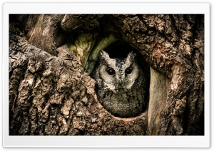 Collared Scops Owl, Nest, Tree Hole HD Wide Wallpaper for 4K UHD Widescreen desktop & smartphone