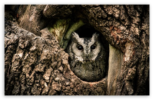 Collared Scops Owl, Nest, Tree Hole HD wallpaper for Wide 16:10 5:3 Widescreen WHXGA WQXGA WUXGA WXGA WGA ; UltraWide 21:9 24:10 ; HD 16:9 High Definition WQHD QWXGA 1080p 900p 720p QHD nHD ; UHD 16:9 WQHD QWXGA 1080p 900p 720p QHD nHD ; Standard 4:3 5:4 3:2 Fullscreen UXGA XGA SVGA QSXGA SXGA DVGA HVGA HQVGA devices ( Apple PowerBook G4 iPhone 4 3G 3GS iPod Touch ) ; Smartphone 16:9 3:2 5:3 WQHD QWXGA 1080p 900p 720p QHD nHD DVGA HVGA HQVGA devices ( Apple PowerBook G4 iPhone 4 3G 3GS iPod Touch ) WGA ; Tablet 1:1 ; iPad 1/2/Mini ; Mobile 4:3 5:3 3:2 16:9 5:4 - UXGA XGA SVGA WGA DVGA HVGA HQVGA devices ( Apple PowerBook G4 iPhone 4 3G 3GS iPod Touch ) WQHD QWXGA 1080p 900p 720p QHD nHD QSXGA SXGA ; Dual 16:10 5:3 16:9 4:3 5:4 3:2 WHXGA WQXGA WUXGA WXGA WGA WQHD QWXGA 1080p 900p 720p QHD nHD UXGA XGA SVGA QSXGA SXGA DVGA HVGA HQVGA devices ( Apple PowerBook G4 iPhone 4 3G 3GS iPod Touch ) ; Triple 16:10 5:3 16:9 4:3 5:4 3:2 WHXGA WQXGA WUXGA WXGA WGA WQHD QWXGA 1080p 900p 720p QHD nHD UXGA XGA SVGA QSXGA SXGA DVGA HVGA HQVGA devices ( Apple PowerBook G4 iPhone 4 3G 3GS iPod Touch ) ;