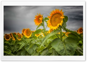 Colorado Sunflowers HD Wide Wallpaper for Widescreen