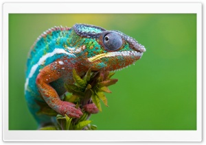 Colored Chameleon HD Wide Wallpaper for 4K UHD Widescreen desktop & smartphone
