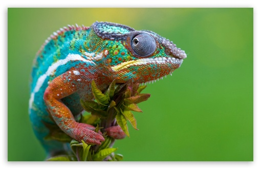 Download Colored Chameleon UltraHD Wallpaper