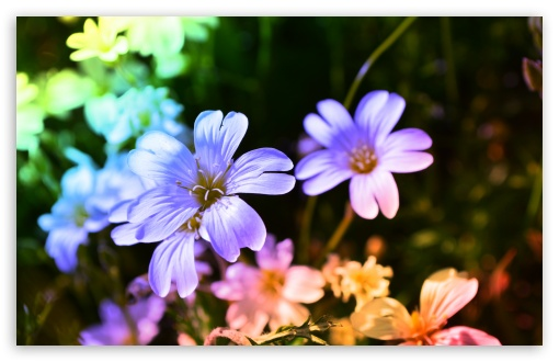 Colored Flowers UltraHD Wallpaper for Wide 16:10 5:3 Widescreen WHXGA WQXGA WUXGA WXGA WGA ; 8K UHD TV 16:9 Ultra High Definition 2160p 1440p 1080p 900p 720p ; UHD 16:9 2160p 1440p 1080p 900p 720p ; Standard 4:3 5:4 3:2 Fullscreen UXGA XGA SVGA QSXGA SXGA DVGA HVGA HQVGA ( Apple PowerBook G4 iPhone 4 3G 3GS iPod Touch ) ; Tablet 1:1 ; iPad 1/2/Mini ; Mobile 4:3 5:3 3:2 16:9 5:4 - UXGA XGA SVGA WGA DVGA HVGA HQVGA ( Apple PowerBook G4 iPhone 4 3G 3GS iPod Touch ) 2160p 1440p 1080p 900p 720p QSXGA SXGA ; Dual 4:3 5:4 UXGA XGA SVGA QSXGA SXGA ;