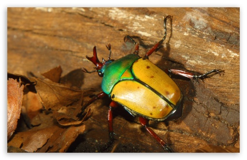 Colorful horned beetle - photo#9