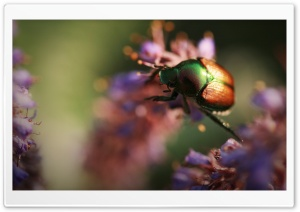 Colorful Beetle Insect HD Wide Wallpaper for Widescreen