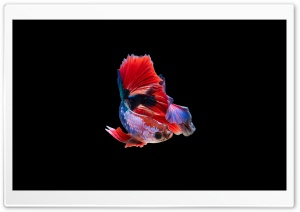 Colorful Betta Fish HD Wide Wallpaper for Widescreen