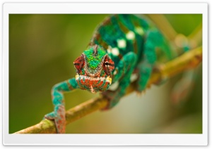 Colorful Chameleon Macro HD Wide Wallpaper for Widescreen