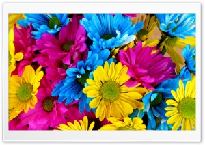 Colorful Daisies HD Wide Wallpaper for Widescreen