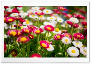 Colorful Daisies Flowers Ultra HD Wallpaper for 4K UHD Widescreen desktop, tablet & smartphone
