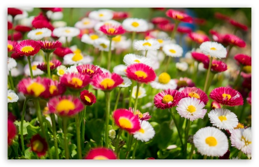 Colorful Daisies Flowers ❤ 4K UHD Wallpaper for Wide 16:10 5:3 Widescreen WHXGA WQXGA WUXGA WXGA WGA ; 4K UHD 16:9 Ultra High Definition 2160p 1440p 1080p 900p 720p ; UHD 16:9 2160p 1440p 1080p 900p 720p ; Standard 4:3 5:4 3:2 Fullscreen UXGA XGA SVGA QSXGA SXGA DVGA HVGA HQVGA ( Apple PowerBook G4 iPhone 4 3G 3GS iPod Touch ) ; Smartphone 5:3 WGA ; Tablet 1:1 ; iPad 1/2/Mini ; Mobile 4:3 5:3 3:2 16:9 5:4 - UXGA XGA SVGA WGA DVGA HVGA HQVGA ( Apple PowerBook G4 iPhone 4 3G 3GS iPod Touch ) 2160p 1440p 1080p 900p 720p QSXGA SXGA ; Dual 16:10 5:3 16:9 4:3 5:4 WHXGA WQXGA WUXGA WXGA WGA 2160p 1440p 1080p 900p 720p UXGA XGA SVGA QSXGA SXGA ;