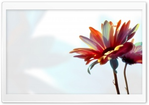 Colorful Daisy HD Wide Wallpaper for Widescreen