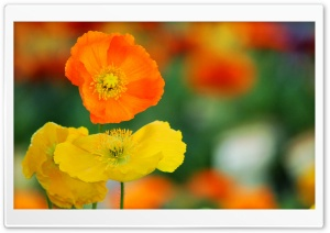 Colorful Poppies Flowers Ultra HD Wallpaper for 4K UHD Widescreen desktop, tablet & smartphone