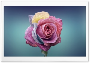 Colorful Rose HD Wide Wallpaper for Widescreen
