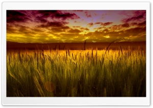 Colorful Sunset Over Wheat Field HD Wide Wallpaper for Widescreen