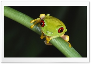Colorful Tree Frog HD Wide Wallpaper for Widescreen