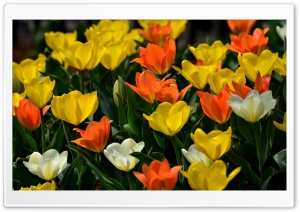 Colorful Tulips Ultra HD Wallpaper for 4K UHD Widescreen desktop, tablet & smartphone