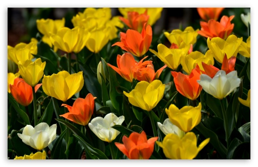Colorful Tulips HD wallpaper for Wide 16:10 5:3 Widescreen WHXGA WQXGA WUXGA WXGA WGA ; HD 16:9 High Definition WQHD QWXGA 1080p 900p 720p QHD nHD ; UHD 16:9 WQHD QWXGA 1080p 900p 720p QHD nHD ; Standard 4:3 5:4 3:2 Fullscreen UXGA XGA SVGA QSXGA SXGA DVGA HVGA HQVGA devices ( Apple PowerBook G4 iPhone 4 3G 3GS iPod Touch ) ; Smartphone 5:3 WGA ; Tablet 1:1 ; iPad 1/2/Mini ; Mobile 4:3 5:3 3:2 16:9 5:4 - UXGA XGA SVGA WGA DVGA HVGA HQVGA devices ( Apple PowerBook G4 iPhone 4 3G 3GS iPod Touch ) WQHD QWXGA 1080p 900p 720p QHD nHD QSXGA SXGA ;