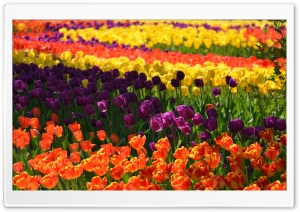 Colorful Tulips 1 HD Wide Wallpaper for Widescreen