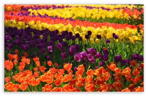 Colorful Tulips 1 HD wallpaper for Wide 16:10 5:3 Widescreen WHXGA WQXGA WUXGA WXGA WGA ; HD 16:9 High Definition WQHD QWXGA 1080p 900p 720p QHD nHD ; UHD 16:9 WQHD QWXGA 1080p 900p 720p QHD nHD ; Standard 4:3 5:4 3:2 Fullscreen UXGA XGA SVGA QSXGA SXGA DVGA HVGA HQVGA devices ( Apple PowerBook G4 iPhone 4 3G 3GS iPod Touch ) ; Smartphone 5:3 WGA ; Tablet 1:1 ; iPad 1/2/Mini ; Mobile 4:3 5:3 3:2 16:9 5:4 - UXGA XGA SVGA WGA DVGA HVGA HQVGA devices ( Apple PowerBook G4 iPhone 4 3G 3GS iPod Touch ) WQHD QWXGA 1080p 900p 720p QHD nHD QSXGA SXGA ; Dual 16:10 5:3 16:9 4:3 5:4 WHXGA WQXGA WUXGA WXGA WGA WQHD QWXGA 1080p 900p 720p QHD nHD UXGA XGA SVGA QSXGA SXGA ;