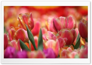 Colorful Tulips HD Wide Wallpaper for Widescreen