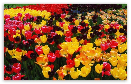 Colorful Tulips HD wallpaper for Wide 16:10 5:3 Widescreen WHXGA WQXGA WUXGA WXGA WGA ; HD 16:9 High Definition WQHD QWXGA 1080p 900p 720p QHD nHD ; Standard 4:3 5:4 3:2 Fullscreen UXGA XGA SVGA QSXGA SXGA DVGA HVGA HQVGA devices ( Apple PowerBook G4 iPhone 4 3G 3GS iPod Touch ) ; Tablet 1:1 ; iPad 1/2/Mini ; Mobile 4:3 5:3 3:2 16:9 5:4 - UXGA XGA SVGA WGA DVGA HVGA HQVGA devices ( Apple PowerBook G4 iPhone 4 3G 3GS iPod Touch ) WQHD QWXGA 1080p 900p 720p QHD nHD QSXGA SXGA ; Dual 16:10 5:3 16:9 4:3 5:4 WHXGA WQXGA WUXGA WXGA WGA WQHD QWXGA 1080p 900p 720p QHD nHD UXGA XGA SVGA QSXGA SXGA ;