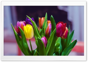 Colorful Tulips Bouquet HD Wide Wallpaper for Widescreen