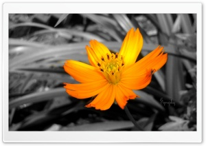 Colourful Flower HD Wide Wallpaper for Widescreen