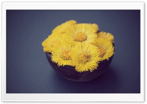 Coltsfoot HD Wide Wallpaper for Widescreen