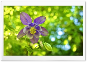 Columbine Flower, Green Bokeh Background HD Wide Wallpaper for 4K UHD Widescreen desktop & smartphone