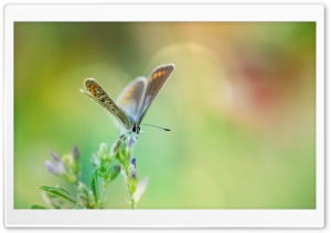 Common Blue Butterfly Macro HD Wide Wallpaper for Widescreen