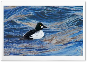 Common Goldeneye HD Wide Wallpaper for Widescreen