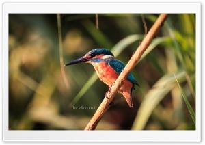 Common kingfisher Ultra HD Wallpaper for 4K UHD Widescreen desktop, tablet & smartphone