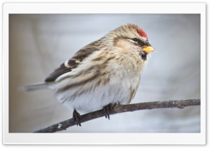 Common Redpoll HD Wide Wallpaper for Widescreen