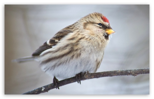 Common Redpoll ❤ 4K UHD Wallpaper for Wide 16:10 5:3 Widescreen WHXGA WQXGA WUXGA WXGA WGA ; 4K UHD 16:9 Ultra High Definition 2160p 1440p 1080p 900p 720p ; Standard 4:3 5:4 3:2 Fullscreen UXGA XGA SVGA QSXGA SXGA DVGA HVGA HQVGA ( Apple PowerBook G4 iPhone 4 3G 3GS iPod Touch ) ; iPad 1/2/Mini ; Mobile 4:3 5:3 3:2 16:9 5:4 - UXGA XGA SVGA WGA DVGA HVGA HQVGA ( Apple PowerBook G4 iPhone 4 3G 3GS iPod Touch ) 2160p 1440p 1080p 900p 720p QSXGA SXGA ;
