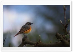 Common Redstart Bird HD Wide Wallpaper for Widescreen