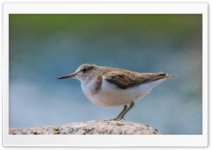 Common Sandpiper HD Wide Wallpaper for 4K UHD Widescreen desktop & smartphone