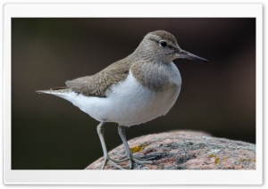 Common Sandpiper HD Wide Wallpaper for Widescreen