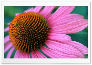 Cone Flower HD Wide Wallpaper for Widescreen