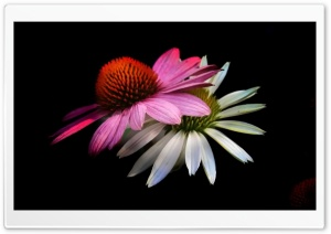 Cone Flowers, Black Background HD Wide Wallpaper for Widescreen