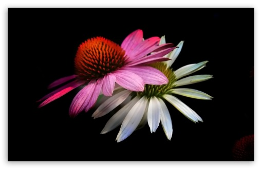 Cone Flowers, Black Background HD wallpaper for Wide 16:10 5:3 Widescreen WHXGA WQXGA WUXGA WXGA WGA ; HD 16:9 High Definition WQHD QWXGA 1080p 900p 720p QHD nHD ; Standard 4:3 5:4 3:2 Fullscreen UXGA XGA SVGA QSXGA SXGA DVGA HVGA HQVGA devices ( Apple PowerBook G4 iPhone 4 3G 3GS iPod Touch ) ; iPad 1/2/Mini ; Mobile 4:3 5:3 3:2 16:9 5:4 - UXGA XGA SVGA WGA DVGA HVGA HQVGA devices ( Apple PowerBook G4 iPhone 4 3G 3GS iPod Touch ) WQHD QWXGA 1080p 900p 720p QHD nHD QSXGA SXGA ;