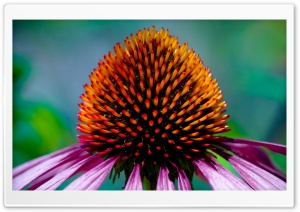 Coneflower HD Wide Wallpaper for 4K UHD Widescreen desktop & smartphone