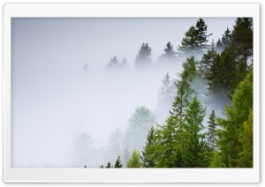 Conifer Forest, Mist, Rainy Day HD Wide Wallpaper for Widescreen