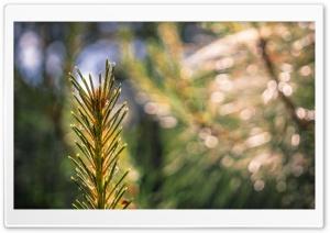 Conifer Spiderweb HD Wide Wallpaper for 4K UHD Widescreen desktop & smartphone
