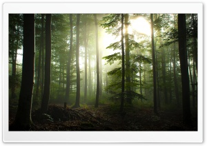 Coniferous Forest HD Wide Wallpaper for Widescreen
