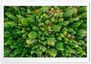 Coniferous Forest Ultra HD Wallpaper for 4K UHD Widescreen desktop, tablet & smartphone