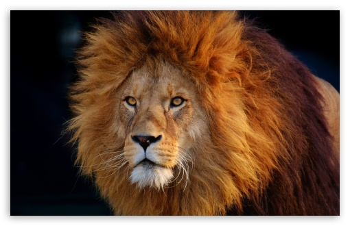 Cool Lion ❤ 4K UHD Wallpaper for Wide 16:10 5:3 Widescreen WHXGA WQXGA WUXGA WXGA WGA ; UltraWide 21:9 24:10 ; 4K UHD 16:9 Ultra High Definition 2160p 1440p 1080p 900p 720p ; UHD 16:9 2160p 1440p 1080p 900p 720p ; Standard 4:3 5:4 3:2 Fullscreen UXGA XGA SVGA QSXGA SXGA DVGA HVGA HQVGA ( Apple PowerBook G4 iPhone 4 3G 3GS iPod Touch ) ; Smartphone 16:9 3:2 5:3 2160p 1440p 1080p 900p 720p DVGA HVGA HQVGA ( Apple PowerBook G4 iPhone 4 3G 3GS iPod Touch ) WGA ; Tablet 1:1 ; iPad 1/2/Mini ; Mobile 4:3 5:3 3:2 16:9 5:4 - UXGA XGA SVGA WGA DVGA HVGA HQVGA ( Apple PowerBook G4 iPhone 4 3G 3GS iPod Touch ) 2160p 1440p 1080p 900p 720p QSXGA SXGA ;