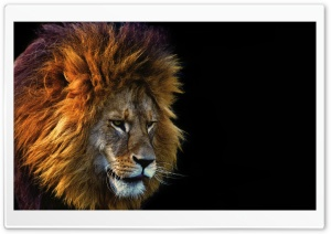 Cool Lion Ultra HD Wallpaper for 4K UHD Widescreen desktop, tablet & smartphone