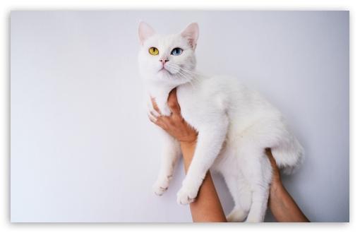Cool White Cat 4k Hd Desktop Wallpaper For 4k Ultra Hd Tv