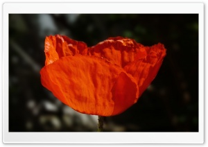 Coquelicot by Antimilo HD Wide Wallpaper for 4K UHD Widescreen desktop & smartphone