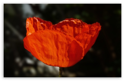 Coquelicot by Antimilo ❤ 4K UHD Wallpaper for Wide 16:10 5:3 Widescreen WHXGA WQXGA WUXGA WXGA WGA ; 4K UHD 16:9 Ultra High Definition 2160p 1440p 1080p 900p 720p ; Standard 4:3 5:4 3:2 Fullscreen UXGA XGA SVGA QSXGA SXGA DVGA HVGA HQVGA ( Apple PowerBook G4 iPhone 4 3G 3GS iPod Touch ) ; Tablet 1:1 ; iPad 1/2/Mini ; Mobile 4:3 5:3 3:2 16:9 5:4 - UXGA XGA SVGA WGA DVGA HVGA HQVGA ( Apple PowerBook G4 iPhone 4 3G 3GS iPod Touch ) 2160p 1440p 1080p 900p 720p QSXGA SXGA ;